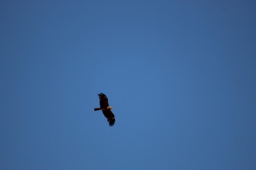 A black kite flying in the blue sky