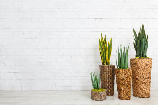 Aloe vera succulents and snake plants in pots