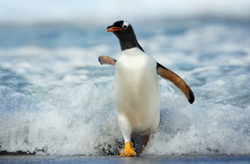 Fototapeten Pinguin Gentoo penguin coming on shore from a stormy Atlantic ocean