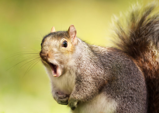 Close up of a grey squirrel yawning