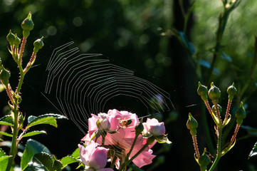 Pink roses on a green bush in garden  with .spider web