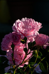 Pink roses on a green bush on sunlight