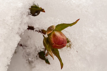 Pink rose on a green bush in garden covered with snow