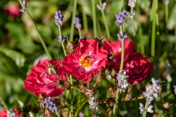 Red roses green bush in garden with lavender angustifolia and bee
