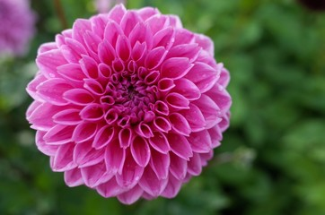 Pink garden flower with copy space