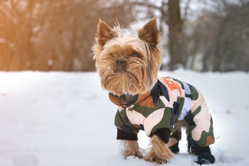 Dog Yorkshire Terrier in warm clothes in the snow