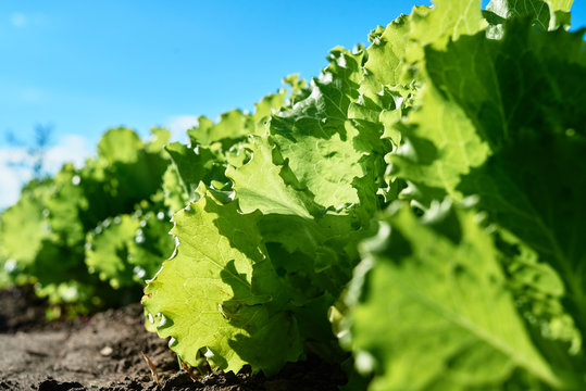 Green lettuce plant growing on garden bed in sunny summer day, copy space. Natural background, close up