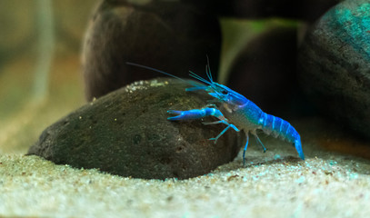 Blue crayfish Procambarus alleni in the Aquarium