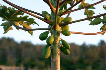Green Papaya Tree