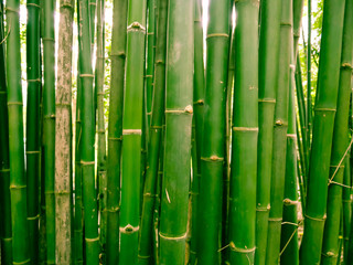 Bamboo forest in the morning, picturesque thickets of a bamboo in tropical rainforest, Thailand