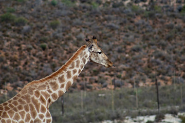 Adult giraffe in african wildlife reserve