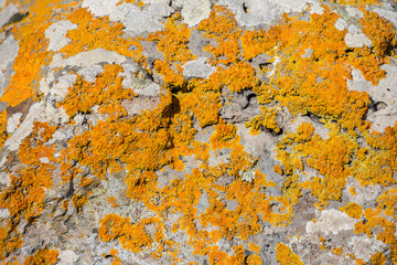 Yellowmoss growing at the bronze age satones at an archeological site in Sardinia, Italy