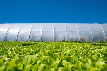 Fototapeta green plant layers on greenhouse background obraz
