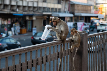 Small monkey is eating something (Group of monkey in town Thailand Lopburi)
