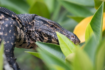 water monitor in the jungle