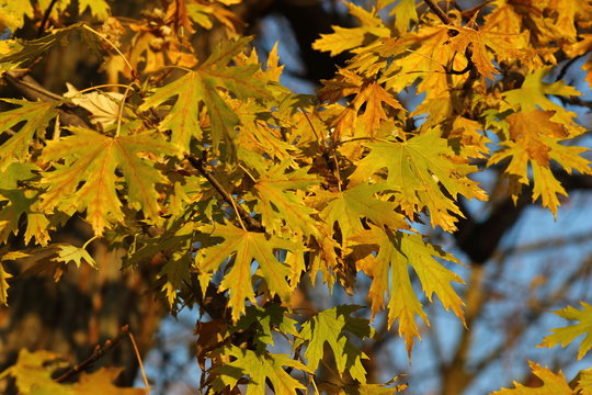 Palmate-shaped leaves of a maple (Acer saccharinum)