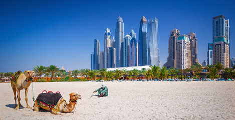 Camels on Jumeirah beach and skyscrapers in the backround in Dubai,Dubai,United Arab Emirates