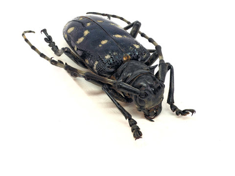 Citrus long-horned beetle