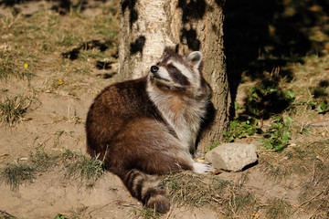 View of full body of sitting adult common raccoon