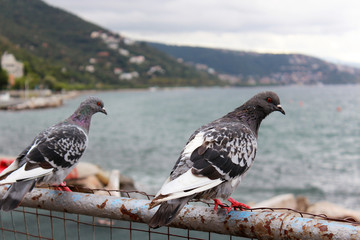 pigeons and mountains
