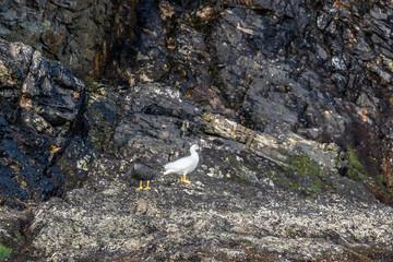 Kelp Geese Staten Island Argentina