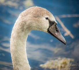 Adult Swan on a lake,Hampshire,England.