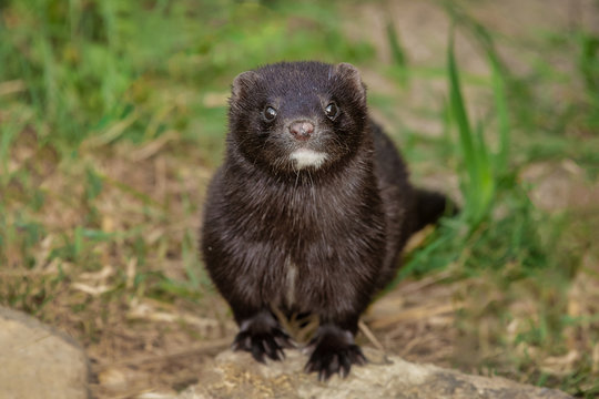 An american mink portrait, Facing directly forward at the camera, the focus is direct on its face