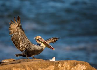 Pacific Brown Pelican/ American Brown Pelican- Pacific race- La Jolla, San Diego, California