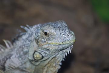 Gray iguana on tree trunk, close-up photo of iguana, common iguana.