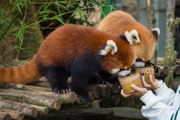 Two red pandas from Bogor Safari Park that are specially brought from China are enjoying the food provided by visitors.