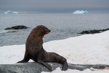 fur seal on beach