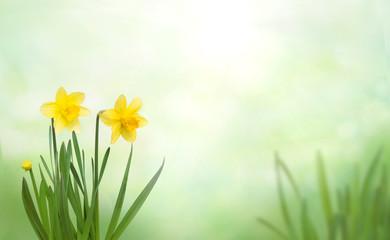 Obraz Nature Spring Background with yellow daffodil flowers - fototapety do salonu