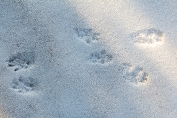 Traces of squirrels on white snow. Paw prints of animals in the winter forest