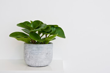 Green pot plant in white room as decoration. Peperomia