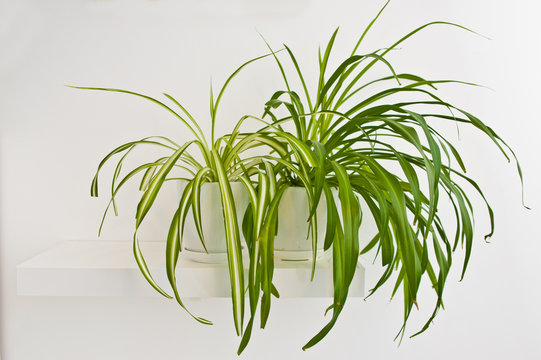 Green pot plant in white room as decoration. Spider plant or Chlorophytum comosum.