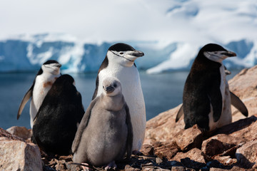 Chinstrap penguin with a chick antarctica