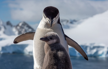 Chistrap penguin with a chick antarctica