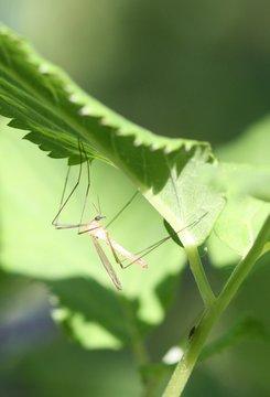 Gros moustique