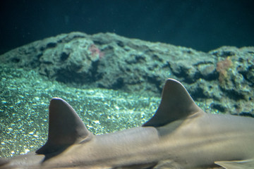 Dorsal fins of a Largetooth sawfish