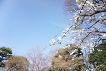 Brilliant Blooming Japanese Plum Blossoms