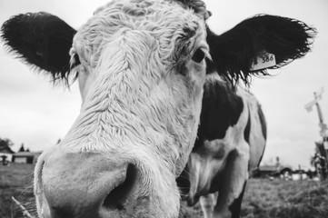 ドイツ 牛