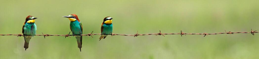 Bienenfresser (Merops apiaster) - European bee-eater Wall mural
