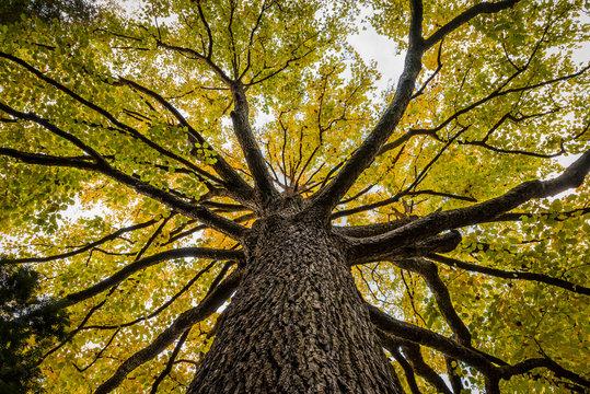 beautiful Elm tree from beneath