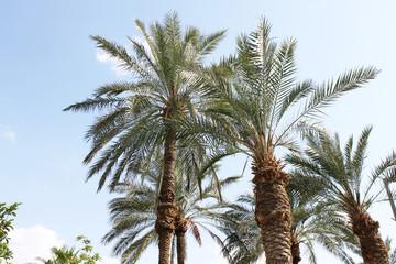 Palmiers D'Israël