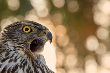 Portrait of Northern goshawk, Accipiter gentilis, young bird with bright yellow eyes and opened beak against nice golden, abstract circular blur bokeh. Bird of prey. Highlands, Czech republic.