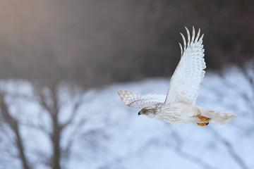 White Siberian goshawk,  Accipiter gentilis albidus, side view on rare, almost white hawk, bird of prey flying in winter landscape. Siberia landscape, Kamchatka Peninsula.