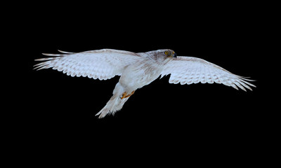 solated on black, White Siberian goshawk,  Accipiter gentilis albidus, front view on rare, almost white hawk, bird of prey wirh outstretched wings,  flying in winter landscape.