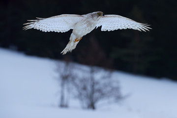 solated White Siberian goshawk,  Accipiter gentilis albidus, front view on rare, almost white hawk, bird of prey wirh outstretched wings,  flying in winter landscape.