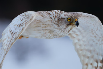 Portrait of White Siberian goshawk,  Accipiter gentilis albidus, rare, almost white hawk with yellow eyes, bird of prey flying very fast in winter landscape.