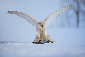White Siberian goshawk, Accipiter gentilis albidus with widespread wings, eating dove on snow ground. Low angle photo of rare, white hawk in winter landscape. Siberia environment, Kamchatka Peninsula.